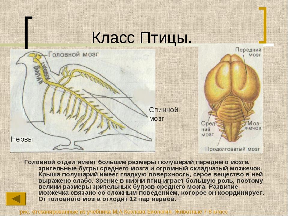 Класс Птицы. Головной отдел имеет большие размеры полушарий переднего мозга,...