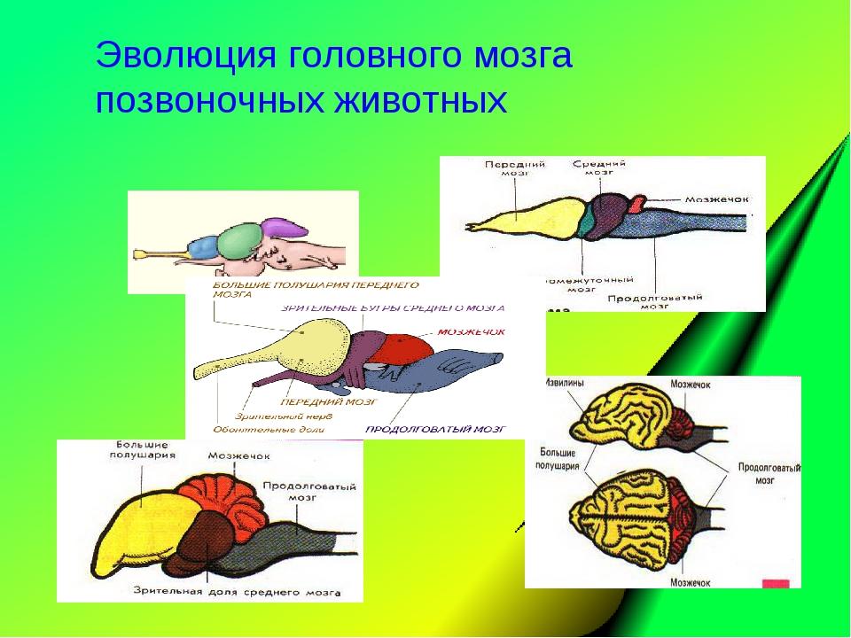 Эволюция головного мозга позвоночных животных