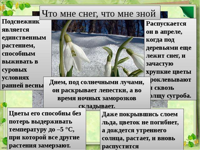 Подснежник является единственным растением, способным выживать в суровых усло...