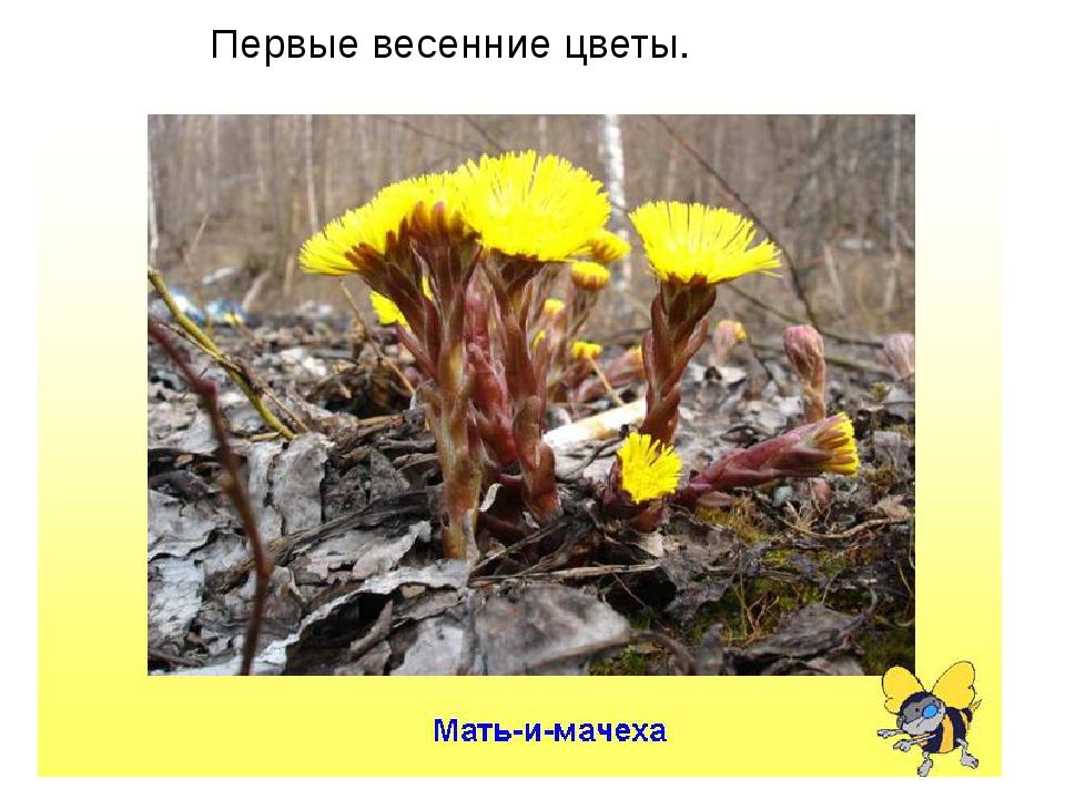 Первые весенние цветы.