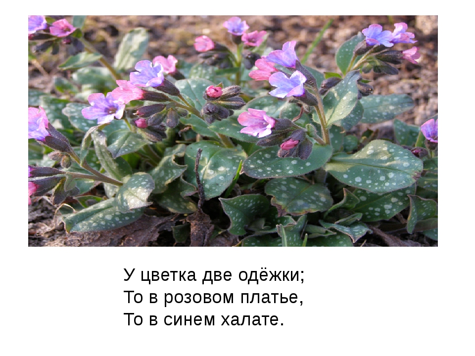 У цветка две одёжки; То в розовом платье, То в синем халате.