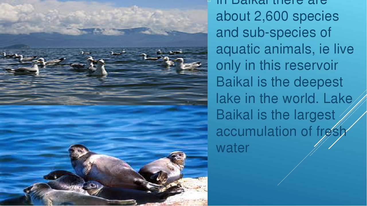 In Baikal there are about 2,600 species and sub-species of aquatic animals,...