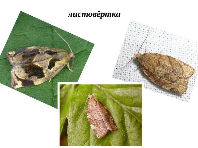 листовёртка