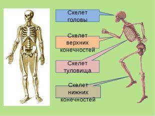 Скелет головы Скелет туловища Скелет верхних конечностей Скелет нижних конечн
