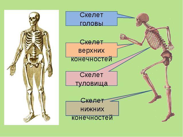 Скелет головы Скелет туловища Скелет верхних конечностей Скелет нижних конечн...
