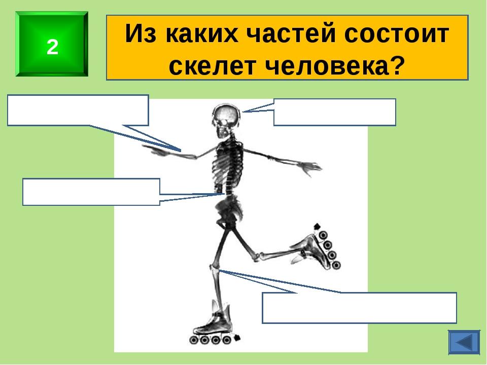 2 Из каких частей состоит скелет человека? Скелет головы Скелет верхних конеч...