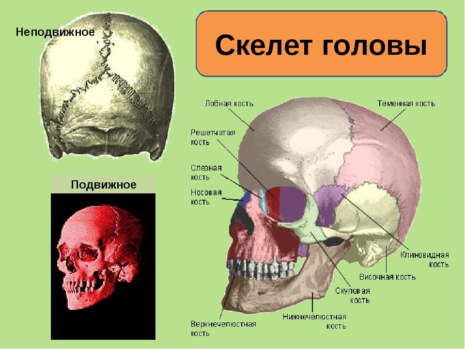 Скелет головы Неподвижное Подвижное