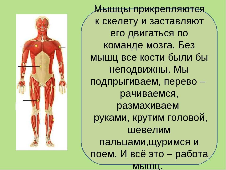 Мышцы прикрепляются к скелету и заставляют его двигаться по команде мозга. Бе...