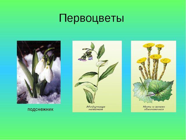 Первоцветы подснежник
