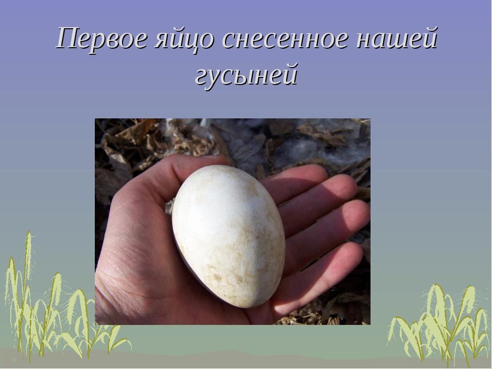 Первое яйцо снесенное нашей гусыней