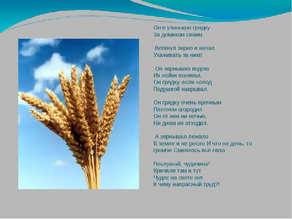 Он в узенькую грядку За домиком своим  Воткнул зерно и начал Ухаживать за н...