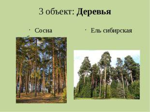 3 объект: Деревья Сосна обыкновенная Ель сибирская
