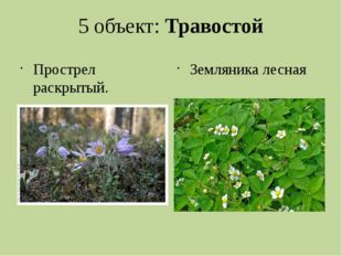5 объект: Травостой Прострел раскрытый. занесен в Красную книгу Пермского кра