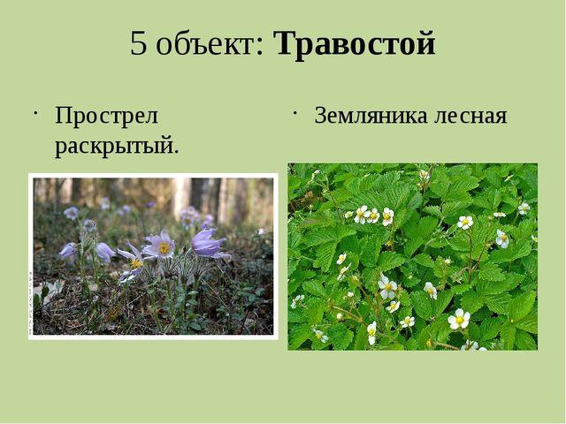 5 объект: Травостой Прострел раскрытый. занесен в Красную книгу Пермского кра...