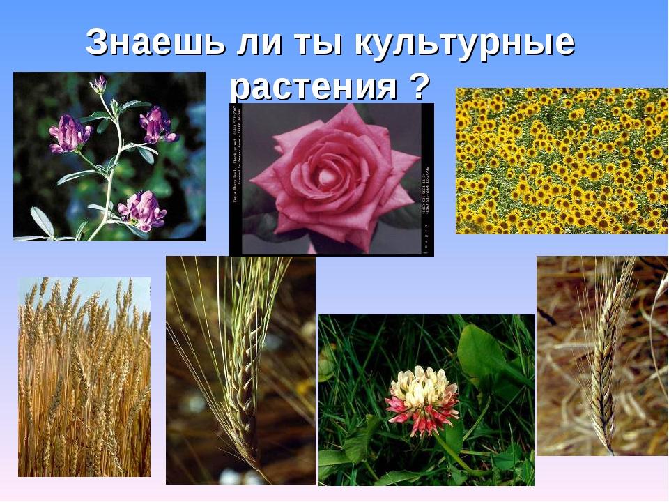 Знаешь ли ты культурные растения ?