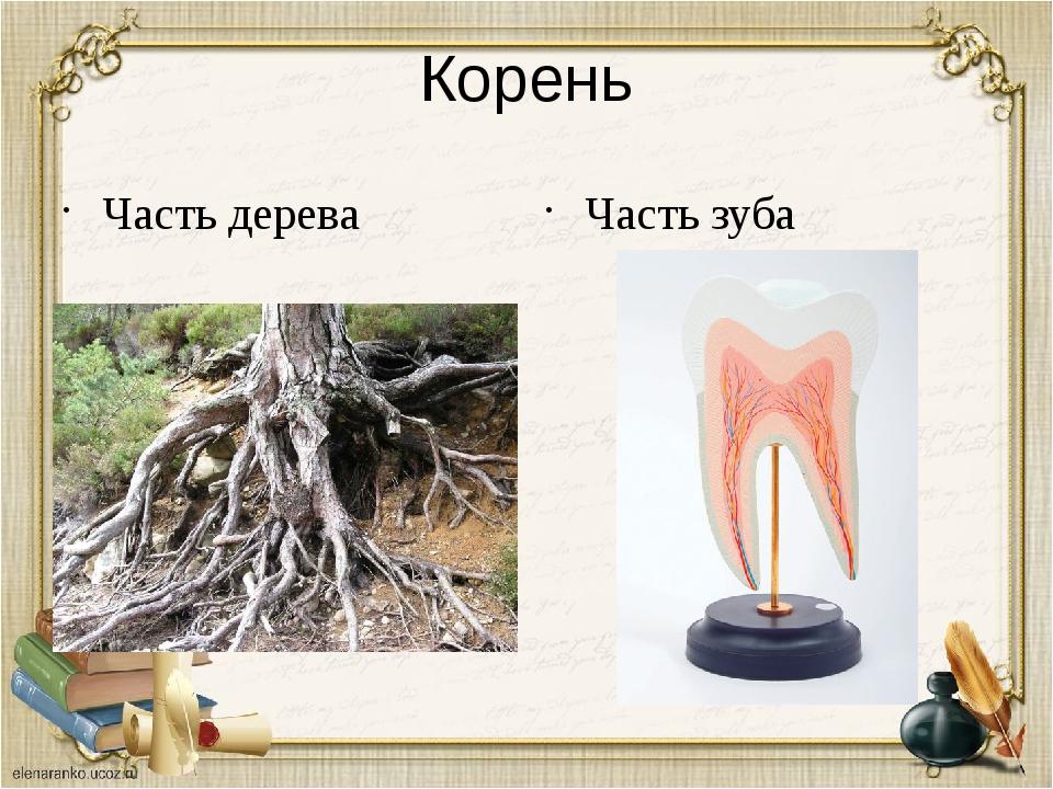 Корень Часть дерева Часть зуба