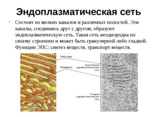 Эндоплазматическая сеть Состоит из мелких каналов и различных полостей. Эти к