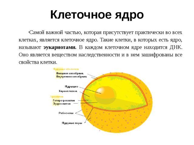 Клеточное ядро Самой важной частью, которая присутствует практически во всех...