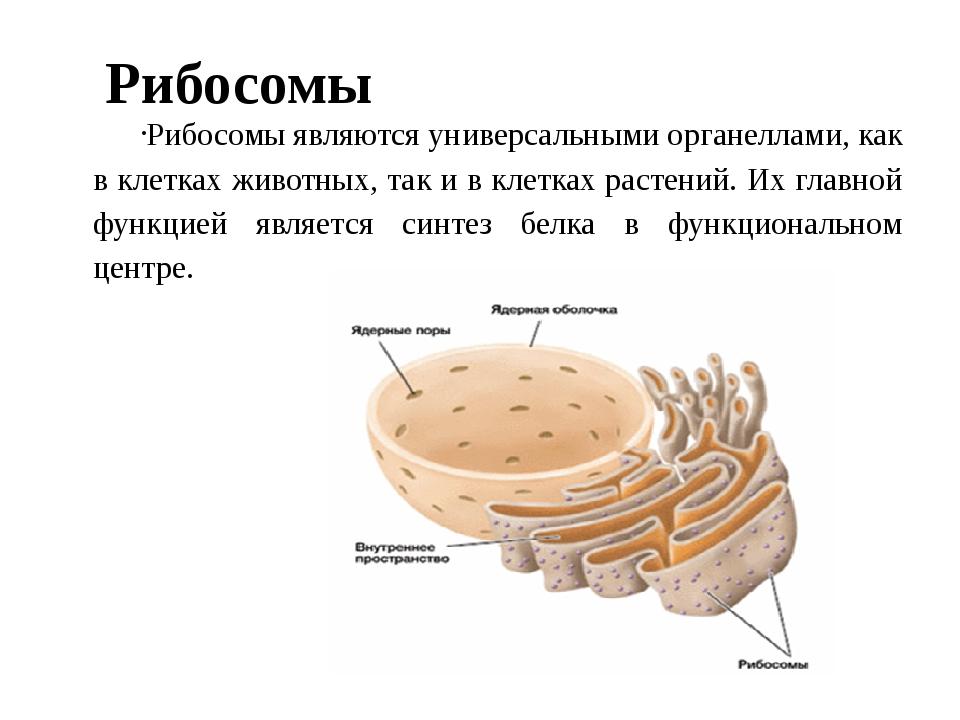 Рибосомы Рибосомы являются универсальными органеллами, как в клетках животных...
