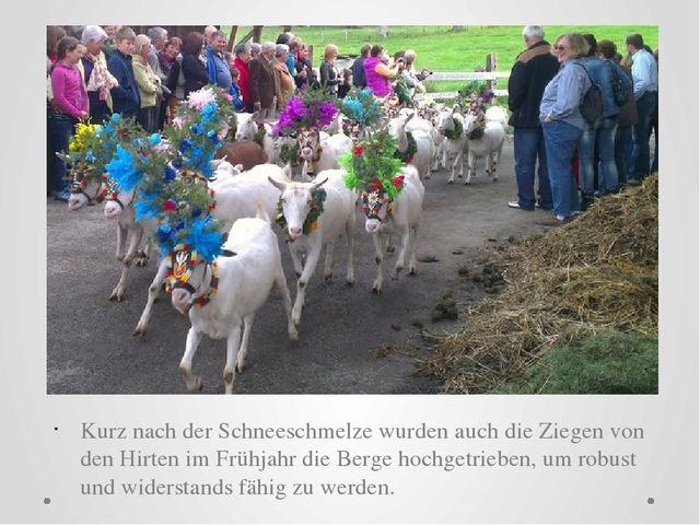 Kurz nach der Schneeschmelze wurden auch die Ziegen von den Hirten im Frühja...