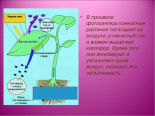 В процессе фотосинтеза комнатные растения поглощают из воздуха углекислый газ