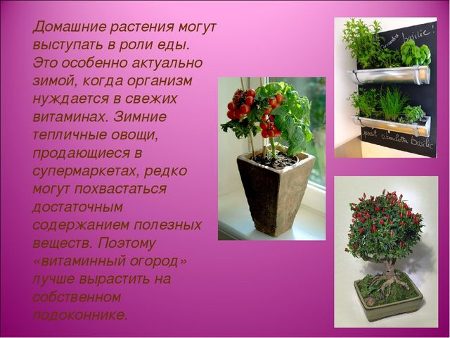 Домашние растения могут выступать в роли еды. Это особенно актуально зимой,...