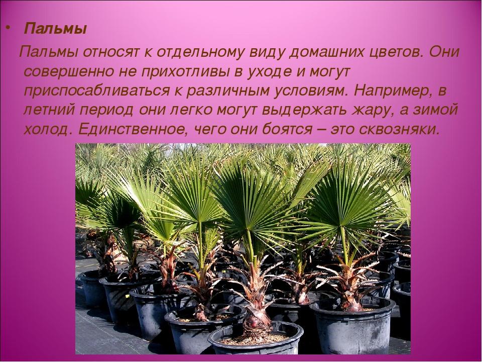 Пальмы Пальмы относят к отдельному видудомашних цветов. Они совершенно не пр...