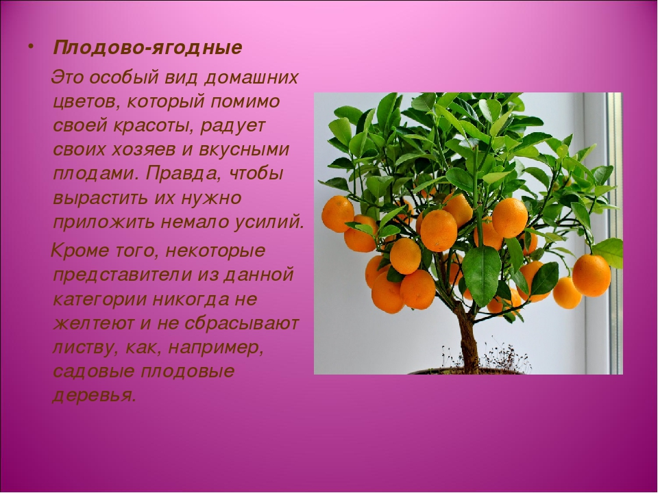Плодово-ягодные Это особый вид домашних цветов, который помимо своей красоты,...