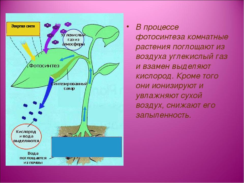 В процессе фотосинтеза комнатные растения поглощают из воздуха углекислый газ...