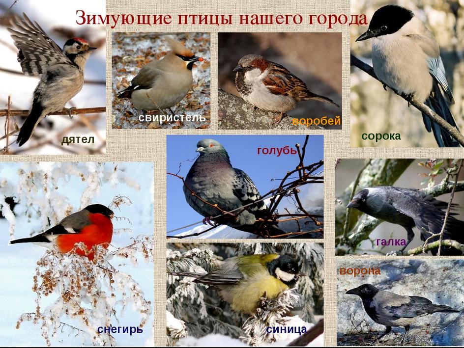 Зимующие птицы удмуртии фото с названиями