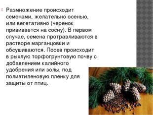Размножение происходит семенами, желательно осенью, или вегетативно (черенок