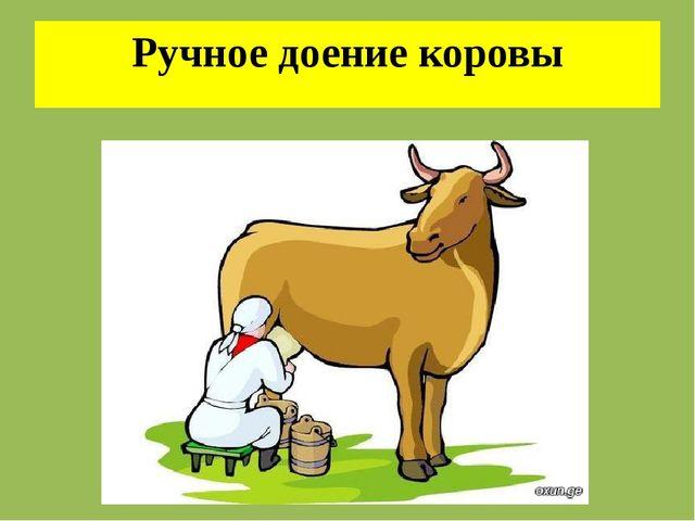 Ручное доение коровы