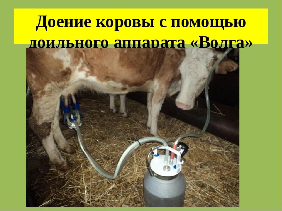 Доение коровы с помощью доильного аппарата «Волга»