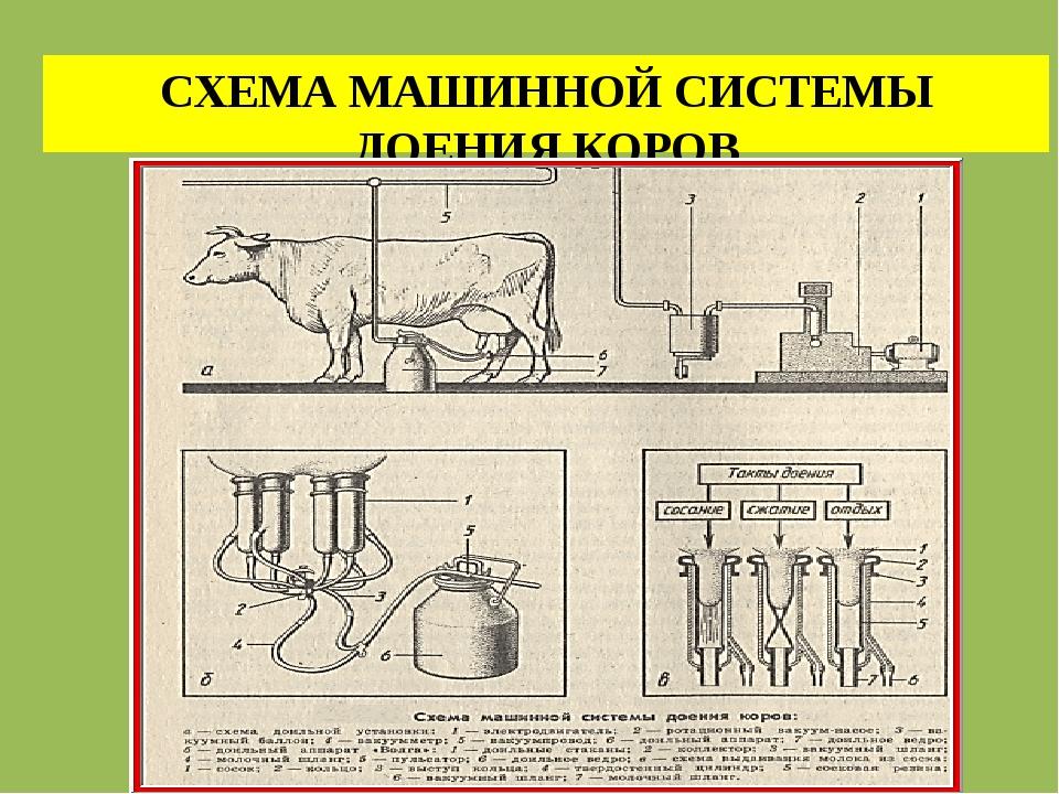 СХЕМА МАШИННОЙ СИСТЕМЫ ДОЕНИЯ КОРОВ