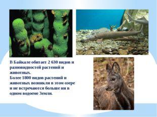В Байкале обитает 2 630 видов и разновидностей растений и животных. Более 180