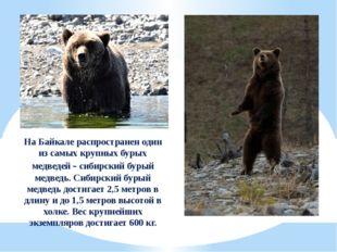 На Байкале распространен один из самых крупных бурых медведей - сибирский бур
