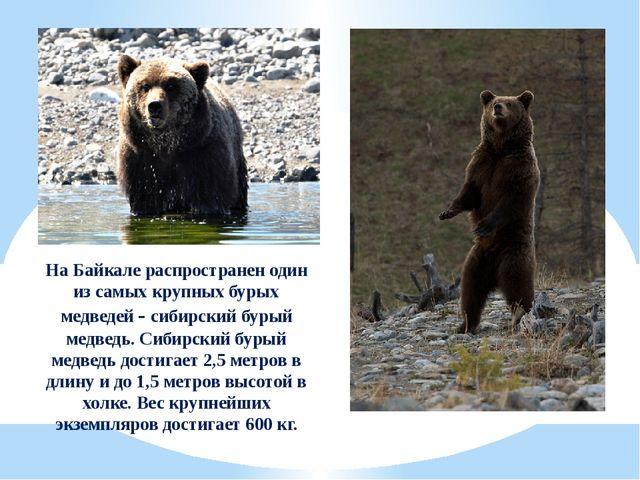 На Байкале распространен один из самых крупных бурых медведей - сибирский бур...