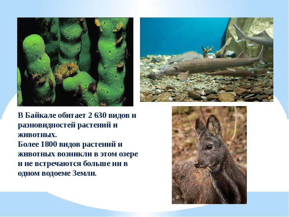 В Байкале обитает 2 630 видов и разновидностей растений и животных. Более 180...