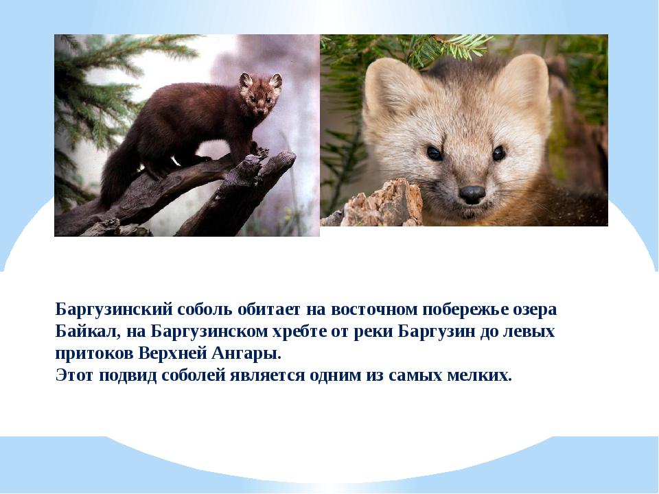 Баргузинский соболь обитает на восточном побережье озера Байкал, на Баргузинс...