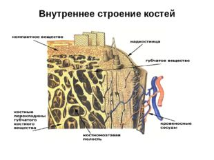 Внутреннее строение костей