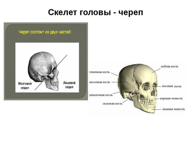 Скелет головы - череп