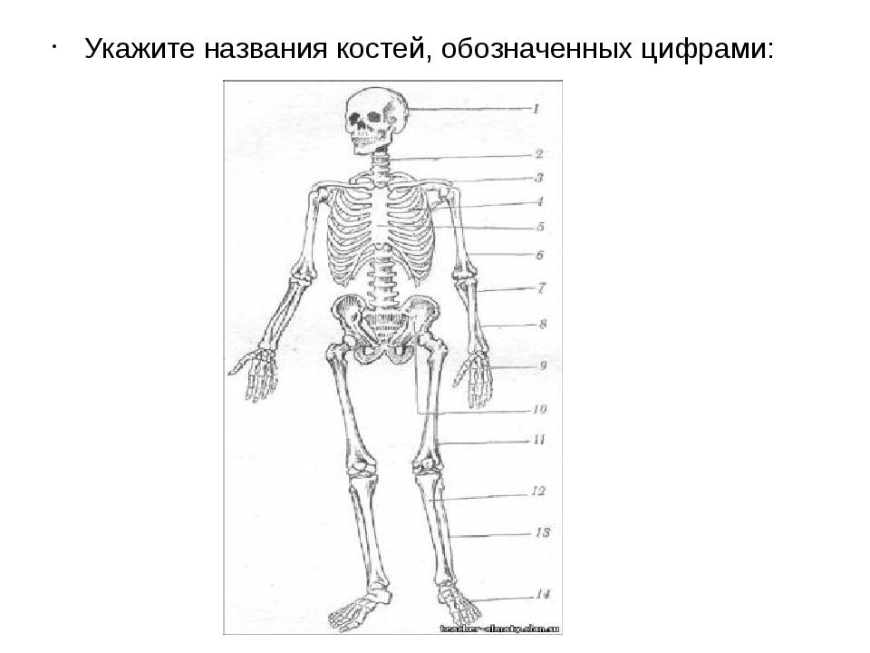 Укажите названия костей, обозначенных цифрами: