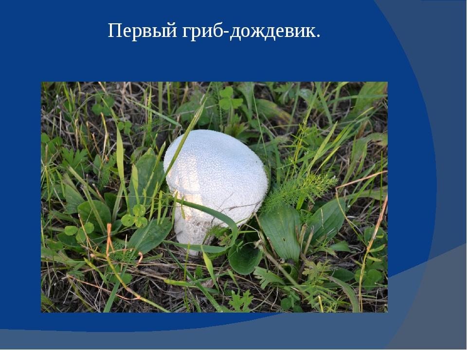 Первый гриб-дождевик.