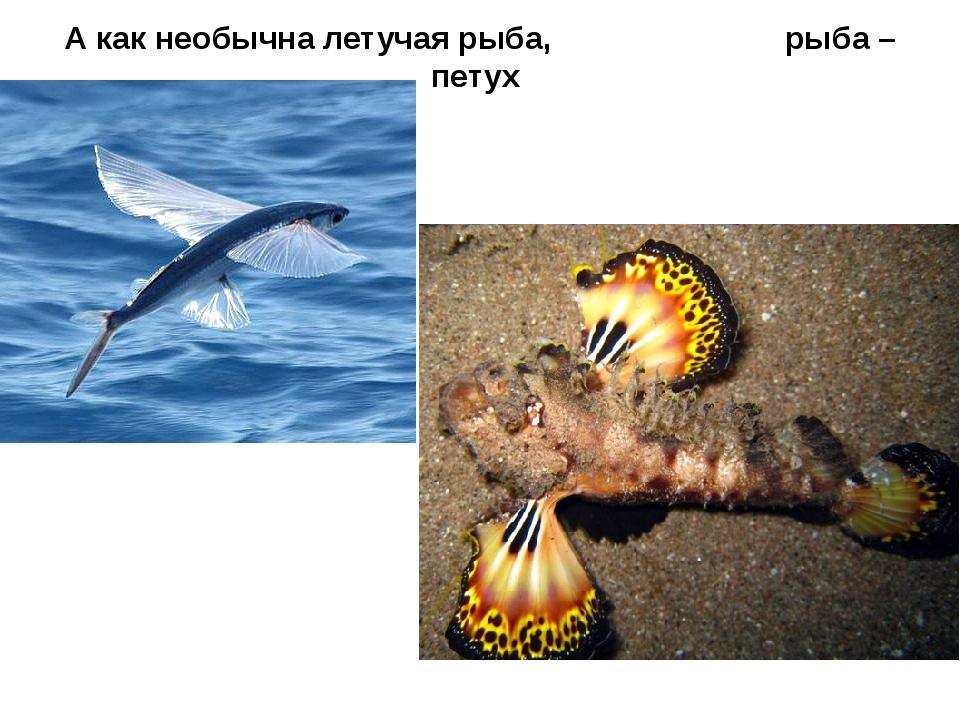 А как необычна летучая рыба, рыба – петух