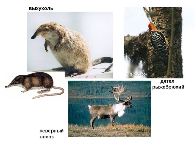 дятел рыжебрюхий выхухоль северный олень