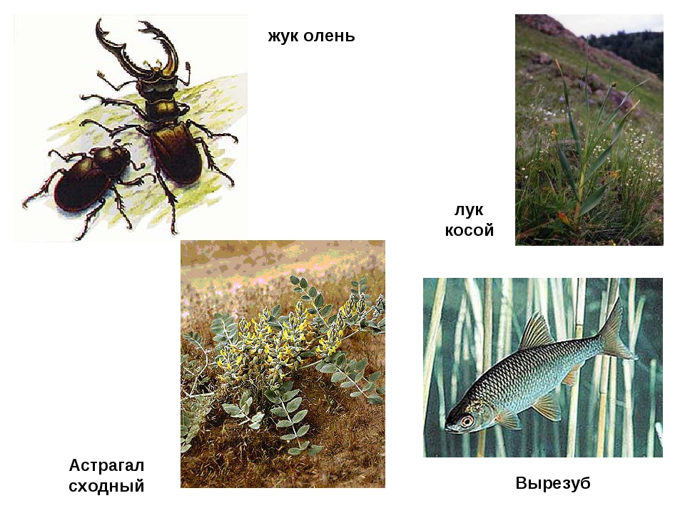 лук косой жук олень Вырезуб Астрагал сходный