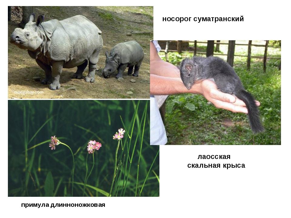 примула длинноножковая носорог суматранский лаосская скальная крыса