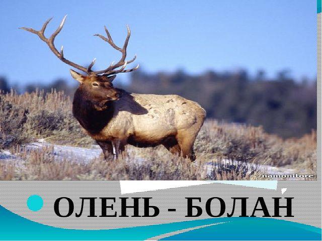 ОЛЕНЬ - БОЛАН