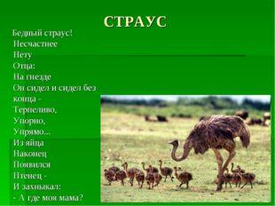 СТРАУС Бедный страус! Несчастнее Нету Отца: На гнезде Он сидел и сидел без ко