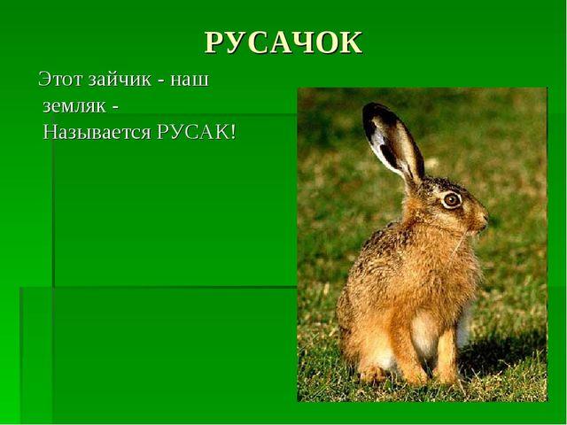РУСАЧОК Этот зайчик - наш земляк - Называется РУСАК!